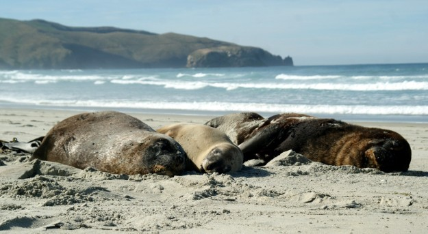 Sea lion family